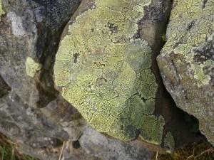 Rhizocarpon Geographicum Lichen