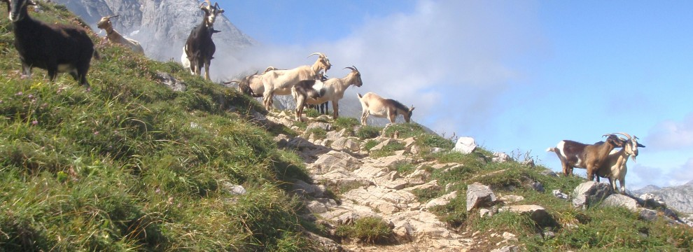 Mountain goats on the route to Urriello